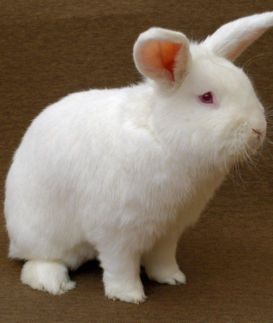 10 Popular Pet Rabbit Breeds Pet Rabbit Rabbit Breeds Rabbit