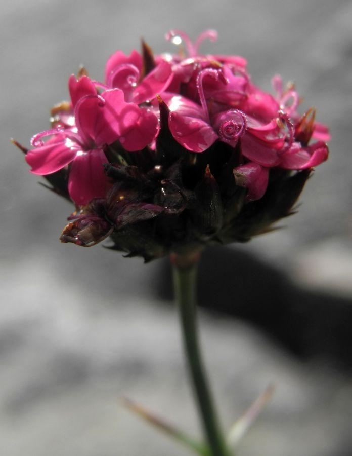 Pannonische Karthaeuser Nelke Bluete pink Dianthus pontederae 09