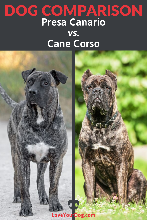 Presa Canario Vs Cane Corso What S The Difference Presa Canario Cane Corso Dog Comparison