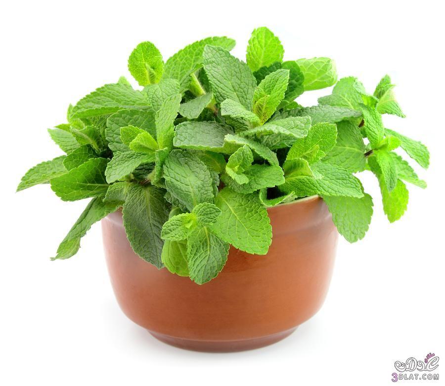 كيفية زراعة النعناع والريحان بالمنزل ازرعى بنفسك نعناع وريحان Planter Pots Herbs Plants