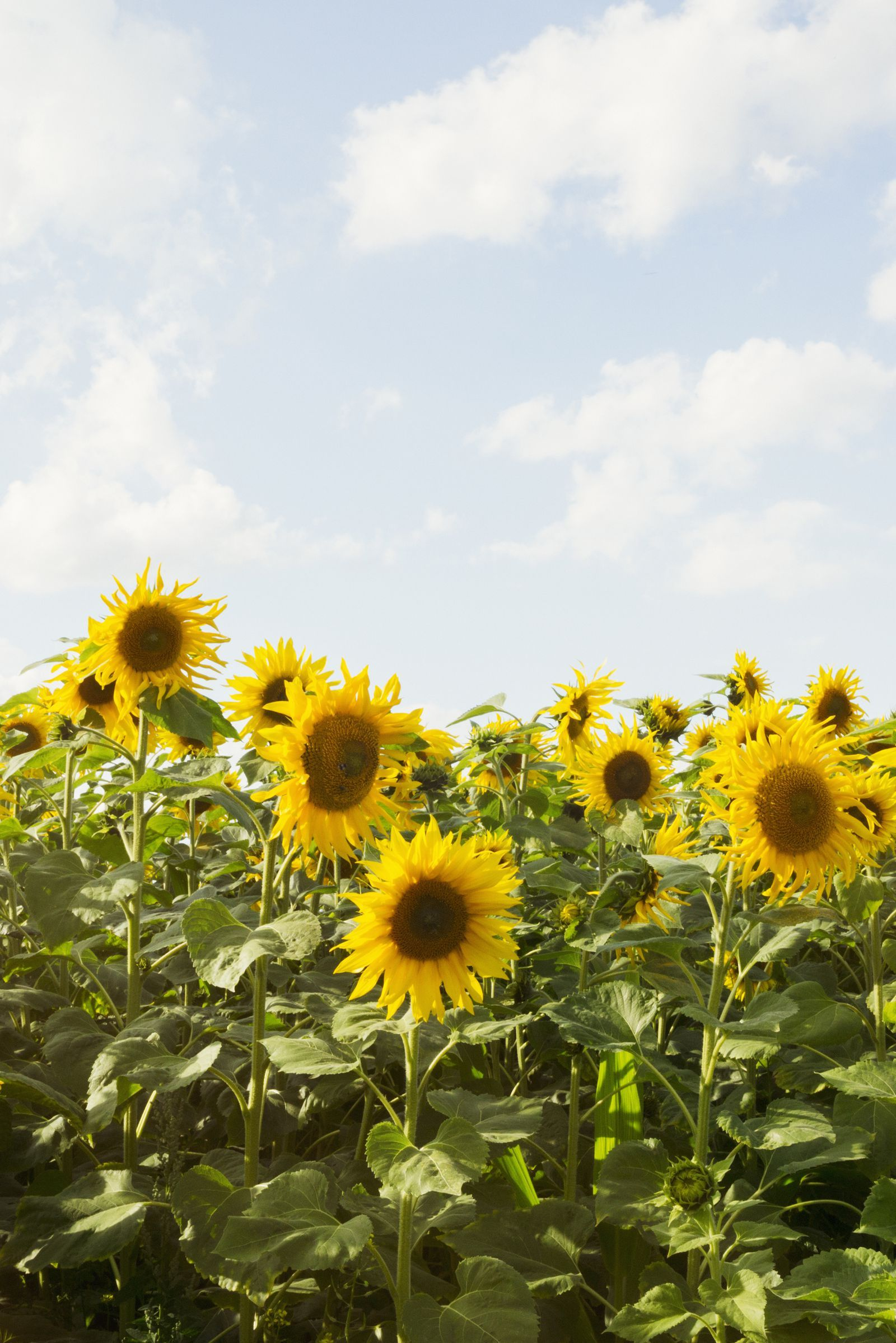 The 30 Prettiest Sunflower Fields Across the U.S