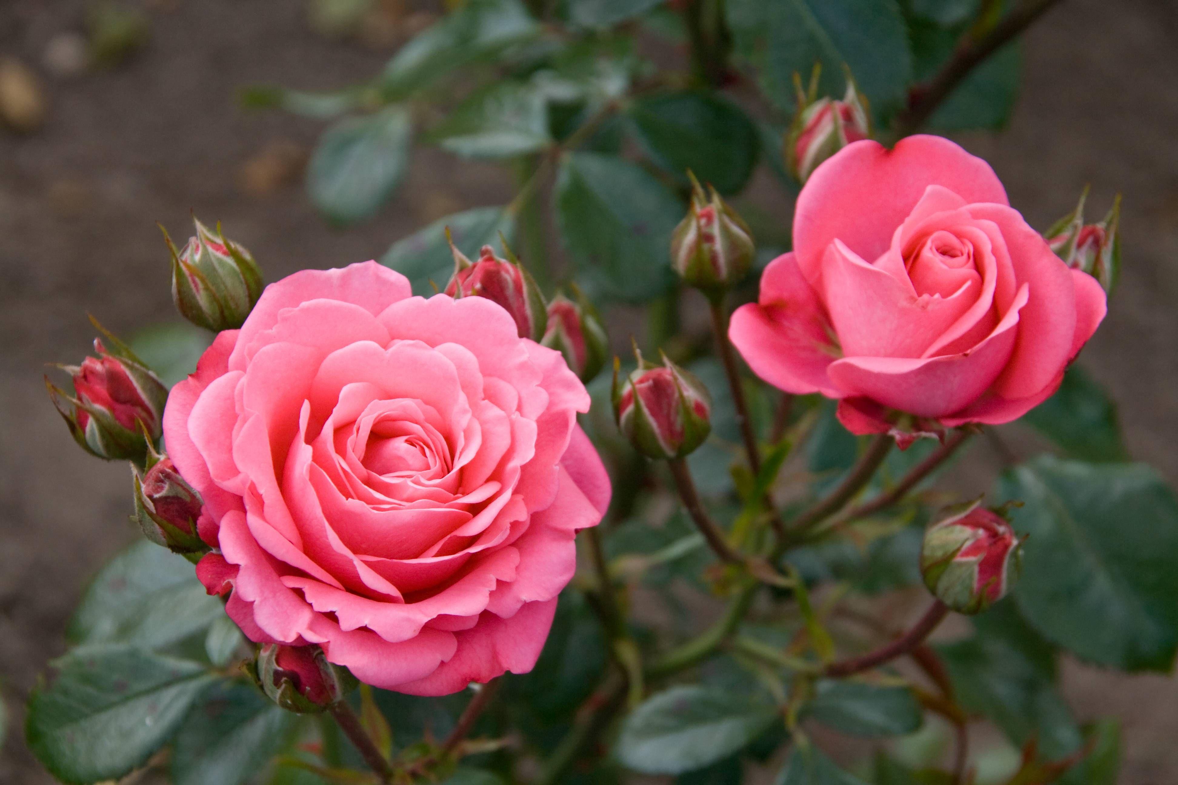 10 Ways To Improve Your Garden With Epsom Salt (With