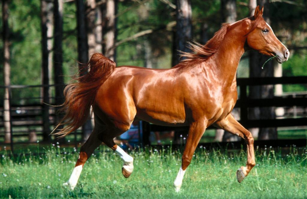 البنية الجسمانية كوندشن والارتفاع والبلوغ في تحكيم الخيل العربية Beautiful Arabian Horses Beautiful Horses Beautiful Horse Pictures