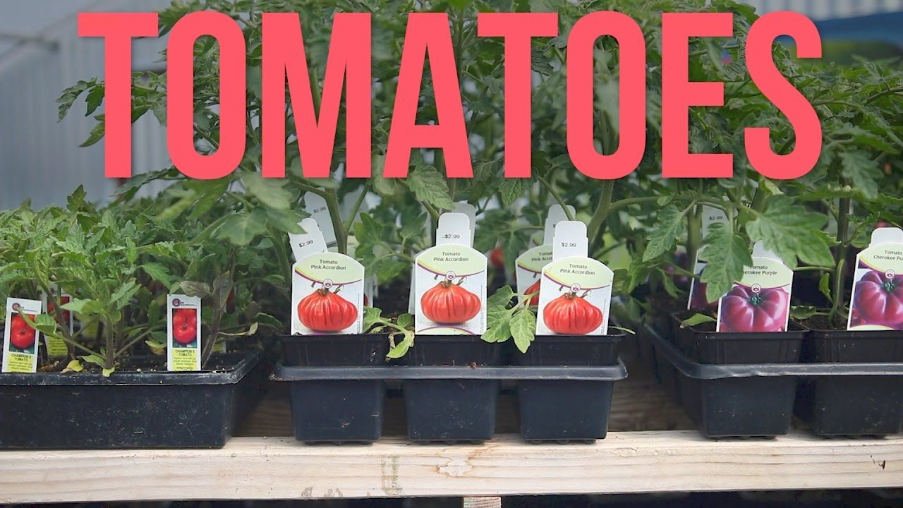 Tomatoes In Containers Garden Answer Container Gardening