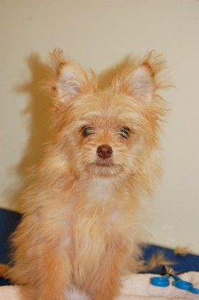 Best Friends In Atlanta With Images Yorkie Chihuahua Mix Dog Adoption Yorkie