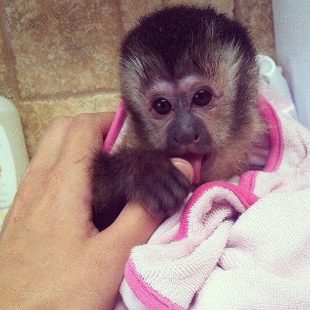 Chelseawildlife Bath Time For My Little Princess Angelika The Tufted Capuchin Capuchin Mo Webstagram The Animals Beautiful Love Pet Funny Animals