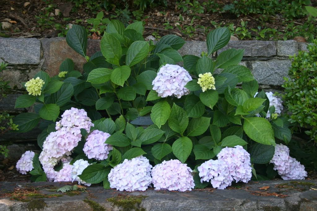 Mini Penny Hydrangea Plants Flowers