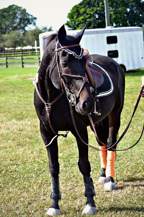 For sale or lease | Bridled & Saddled | Horses, Beautiful