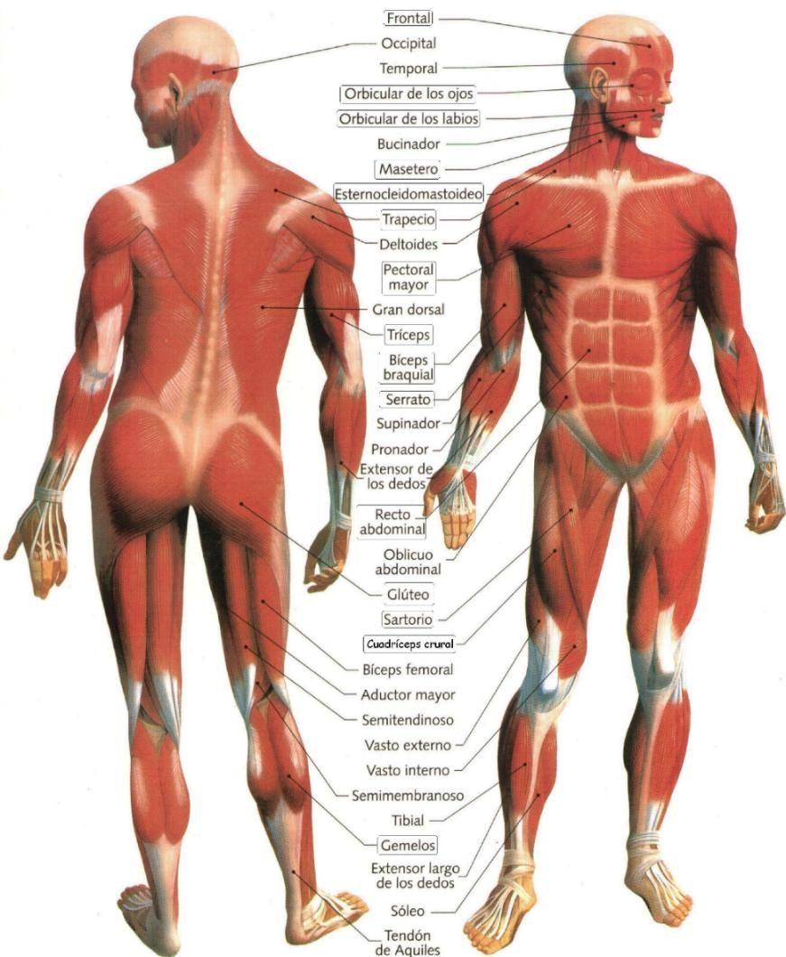 Educación Física en la Red: Principales músculos del cuerpo humano ...