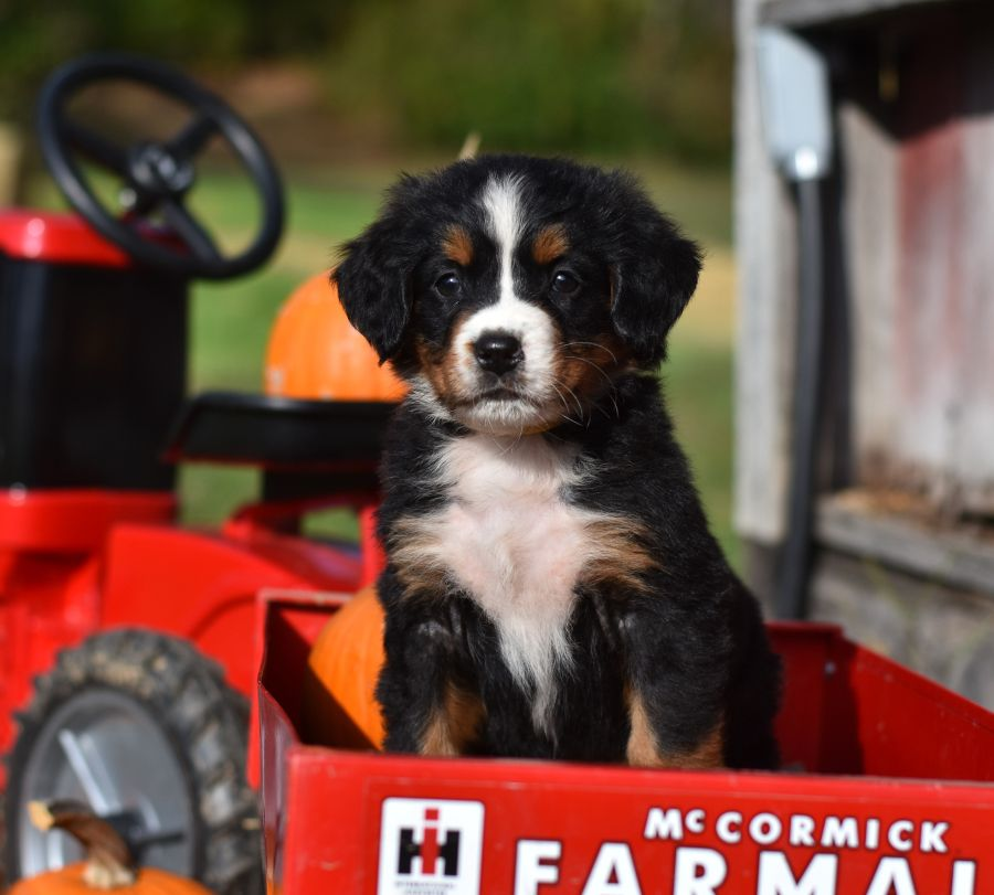 Adorable Autumn Pups These Sweet Pumpkins Are Bernesemountaindog Pups They Are Excited For T Bernese Mountain Dog Puppy Puppies For Sale Puppies