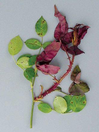 Rose Mosaic and Rose Rosette | Iowa Gardener Magazine eNewsletter