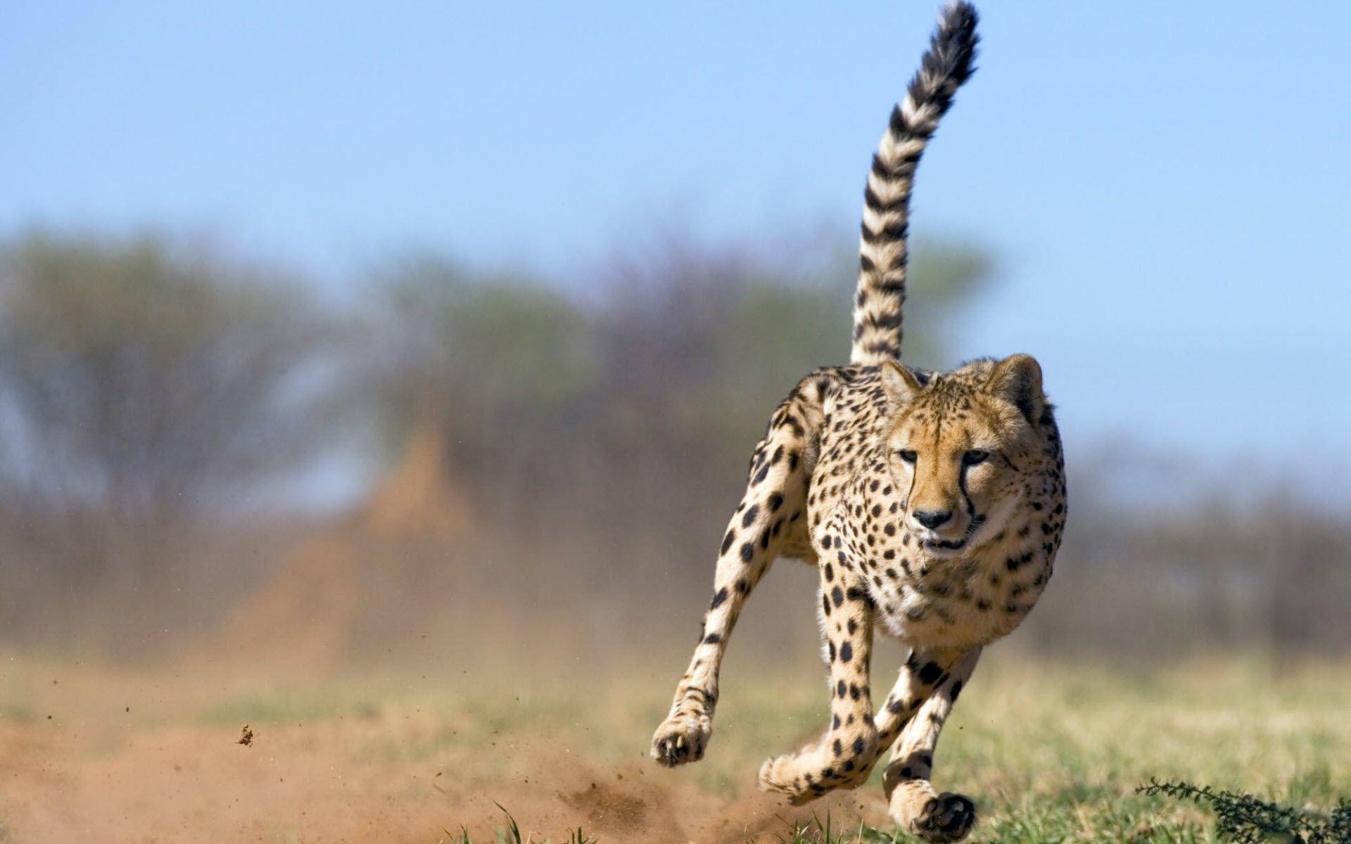 cheetah animal desktop hd photos