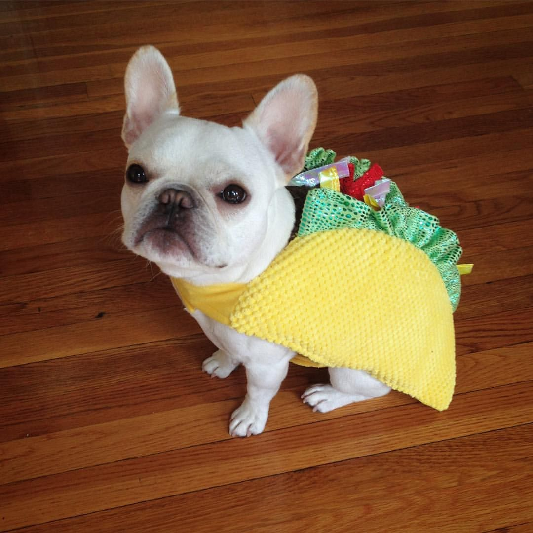 Umm excuse me? It's Nacho, not taco! Cute french bulldog
