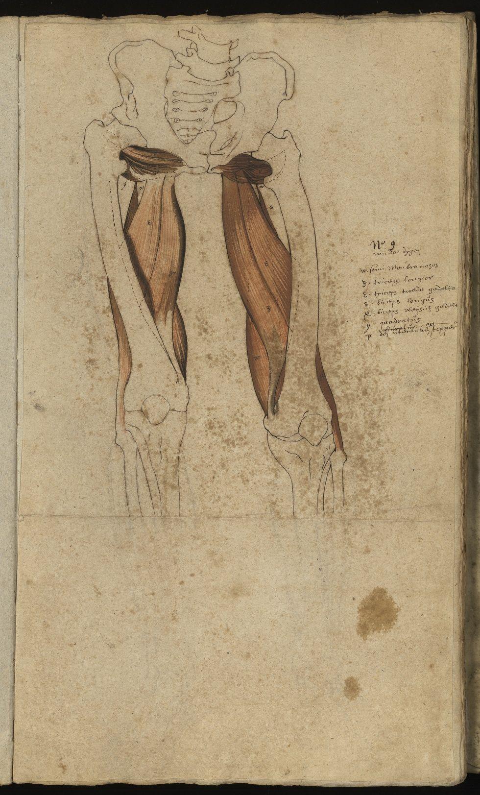 Après 270 ans d\'oubli, redécouverte de l\'anatomie de Van Horne ...
