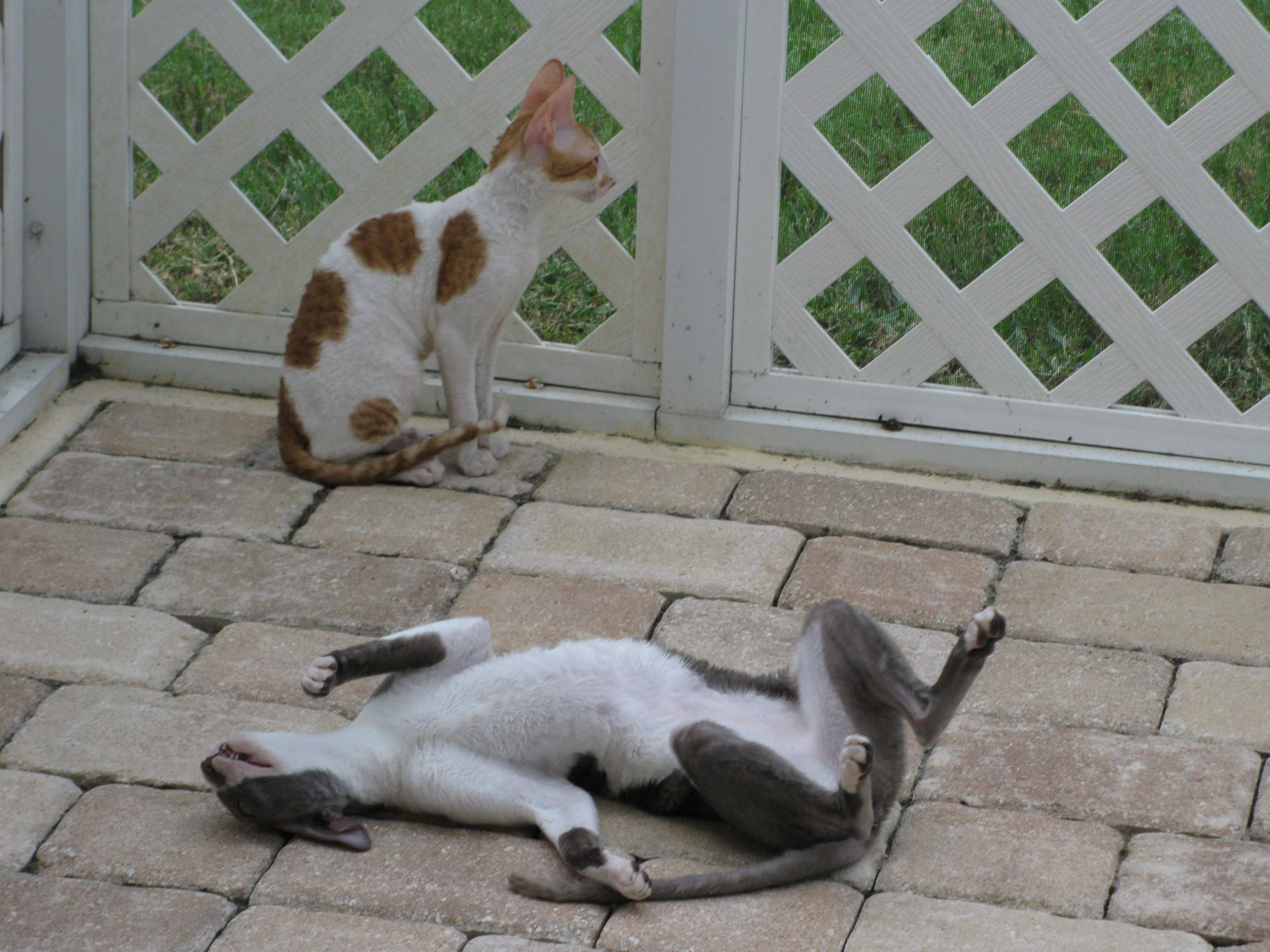 Drama Queen Fionna Crazy Cats Cornish Rex Crazy Cat Lady
