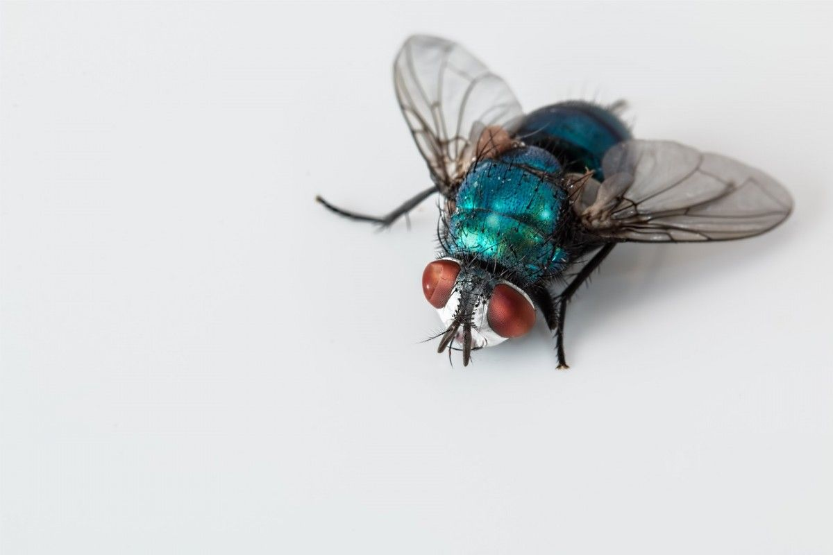 139c9a90a46935932fd7d120d8ae8624 - How To Get Rid Of Common Green Bottle Fly