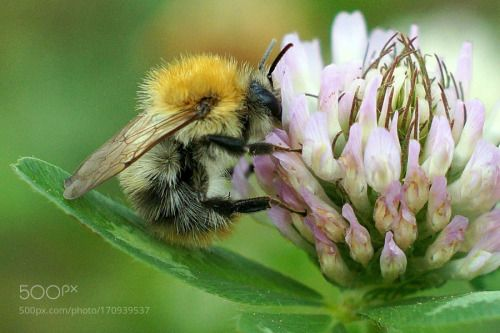 common carder bee by astrid_hamacher  IFTTT 500px