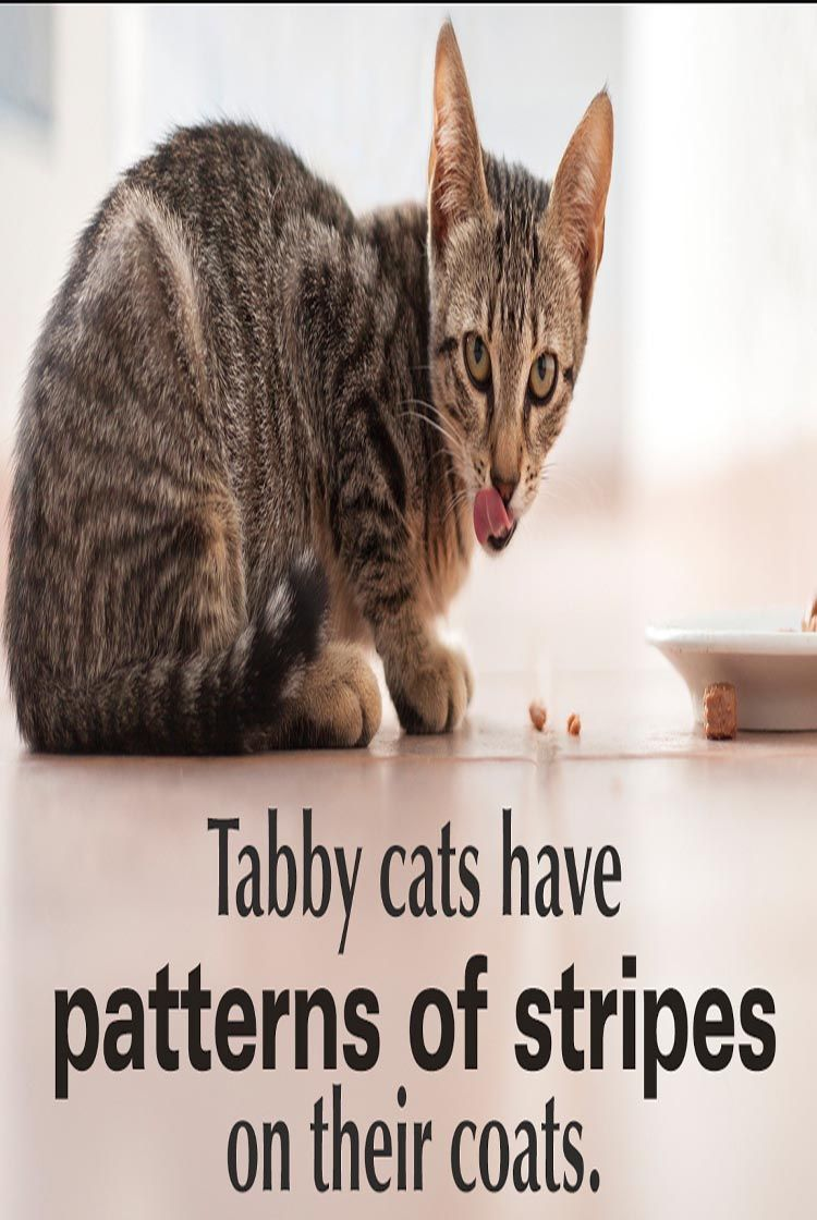 All You Need To Know About Tabby Cats Cat Guides Tabby Cat Cat Breeds Ragdoll Giant Cat Breed