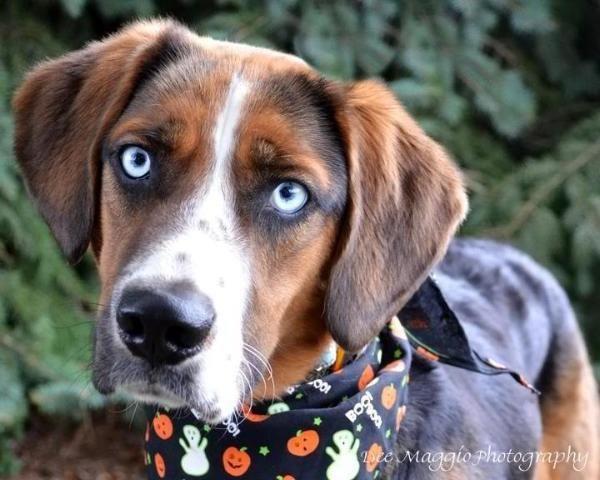 My Hudson, our beagle/Australian Shepherd mix rescue puppy
