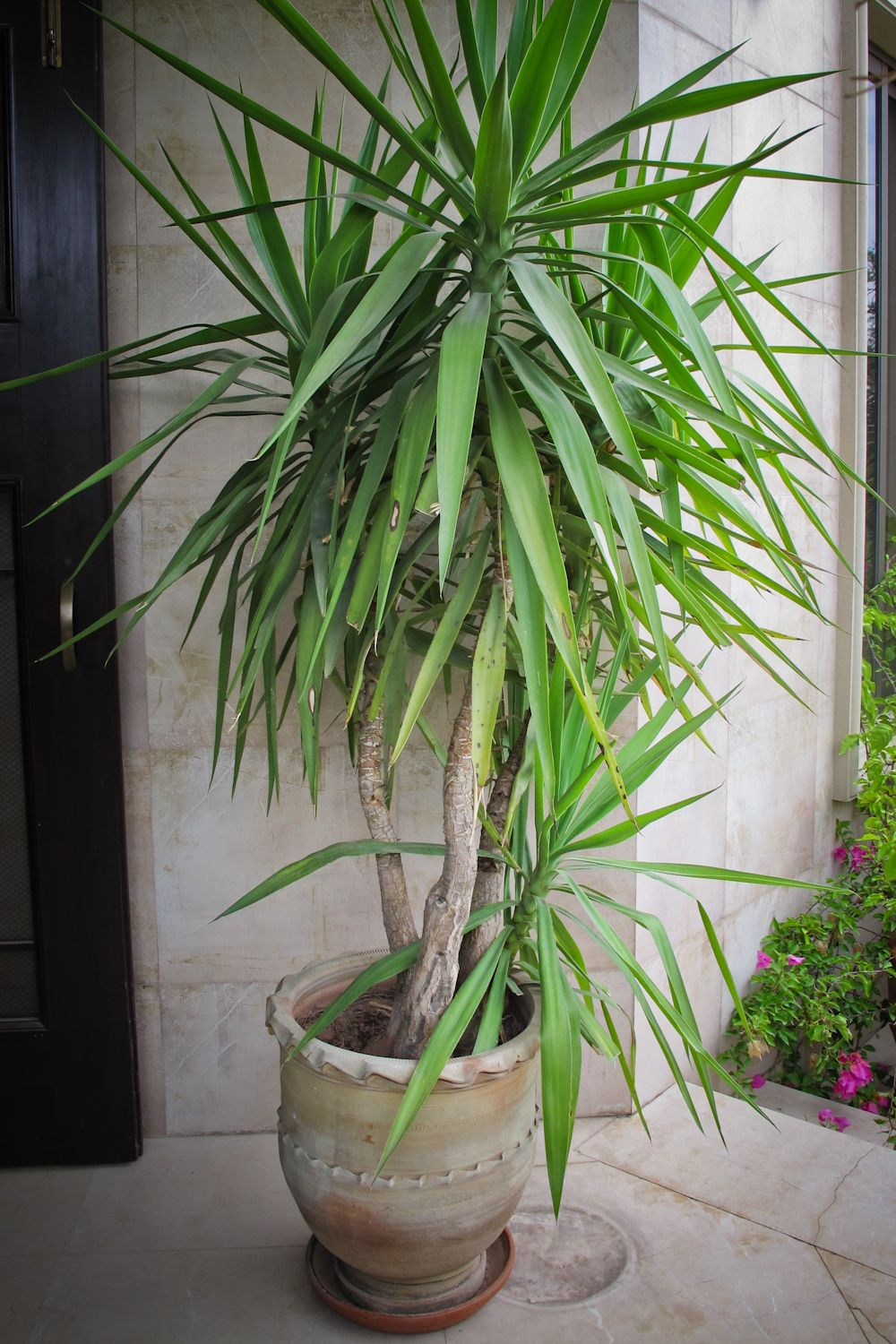 Yucca plant in a terracotta pot assortment of plants for Yucca plante