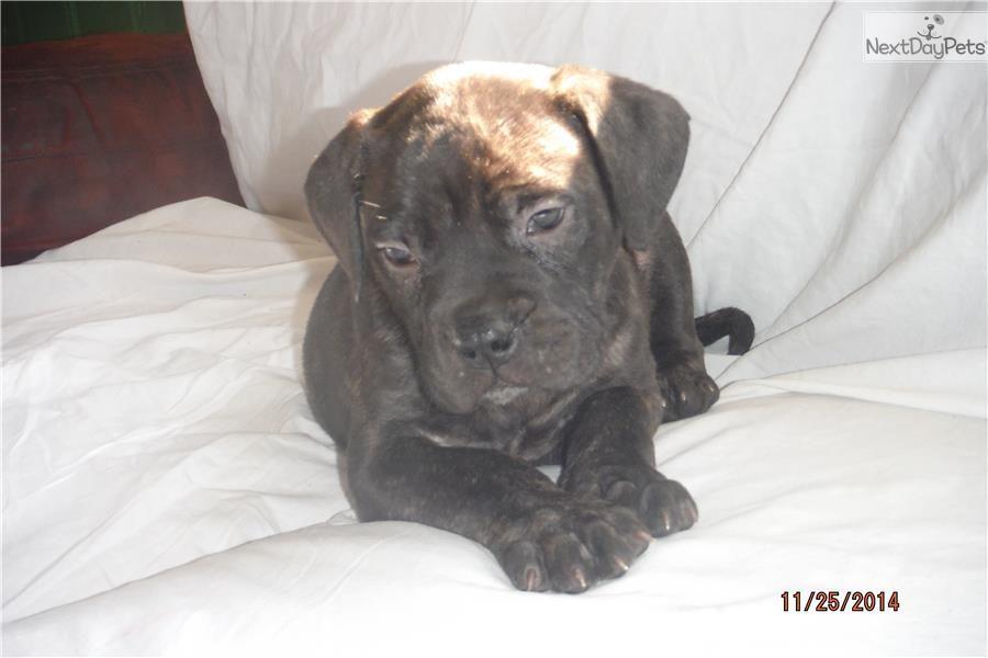 Akc Champion Bloodlines Bullmastiff Puppy For Sale Near