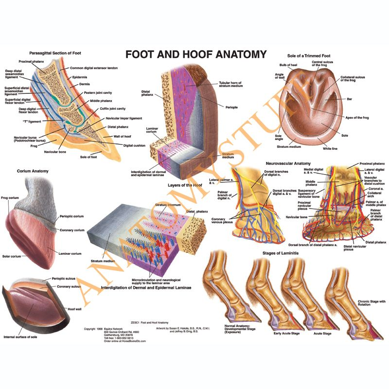 Equine Foot and Hoof Anatomy Laminated Chart / Poster | Pinterest