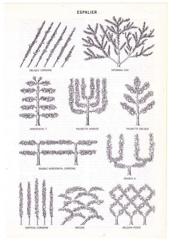 Espalier diagram vintage encyclopedia illustration page