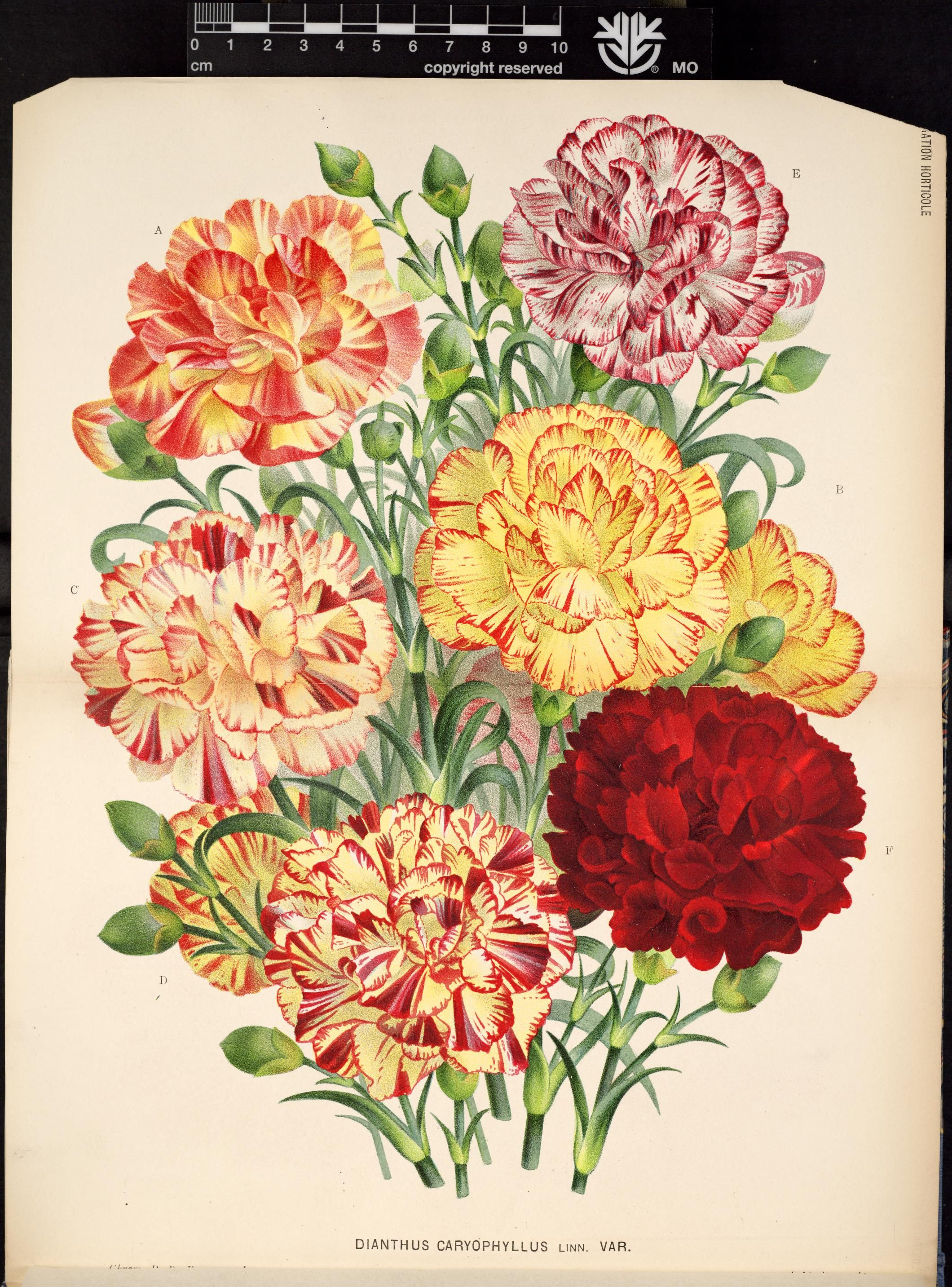 v.31 (1884) L'Illustration horticole Biodiversity