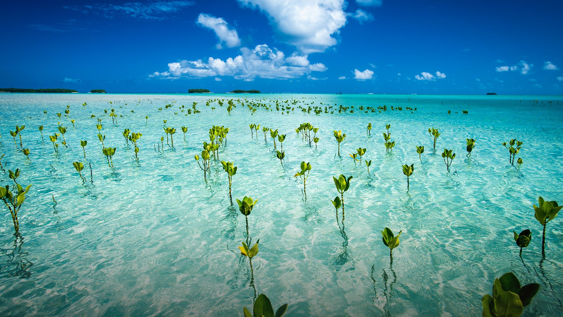 Young mangroves form part of the marine park, near Tuvalu mainland |  Windows 10 SpotLight Images | Mangrove, Tuvalu, Island nations