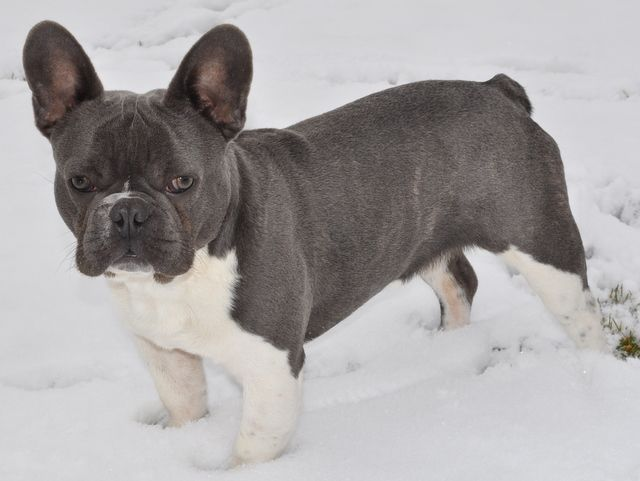 Samson Heavy Blue Brindle Pied French Bulldog Pied French