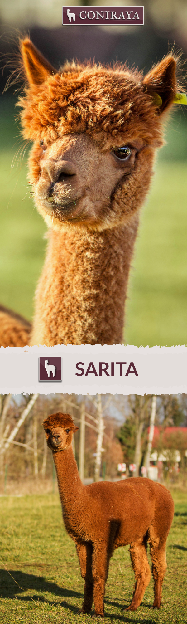 Meet one of our cute Coniraya alpaca girls - Sarita. She was born in 2010. Her fiber is in color : Medium Brown. For more informations check her profile on our website.