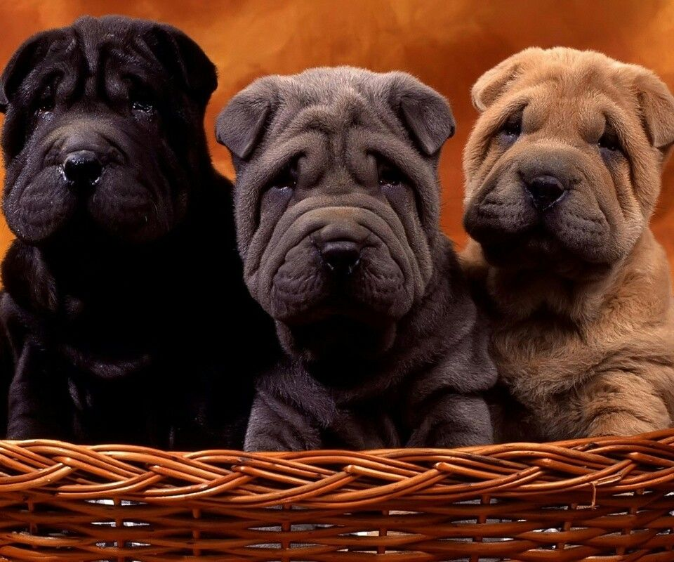 Shar-Pei puppies.... Soooo CUTE!! I have to have one!!!!!!!!