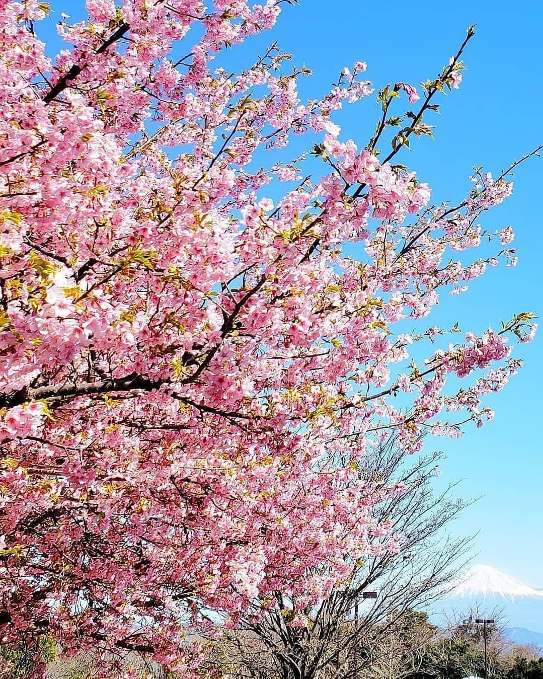 @Travelko: #スワイプしてね   \#早咲きの桜 と #富士山 の競演/  ここは #静岡、 #日本平 。かつて #日本観光地百選 で1位を獲得したこともある景勝地へ、...      #Instatravel, #Mtfuji, #Mtfujijapan, #SightSeeing, #Travel, #Travelko, #Trip, #いちばん安く, #カメラ女子, #スワイプしてね, #トラベルコ, #トラベルコちゃん, #フォトジェニック, #一人旅, #久能山東照宮, #国内旅�
