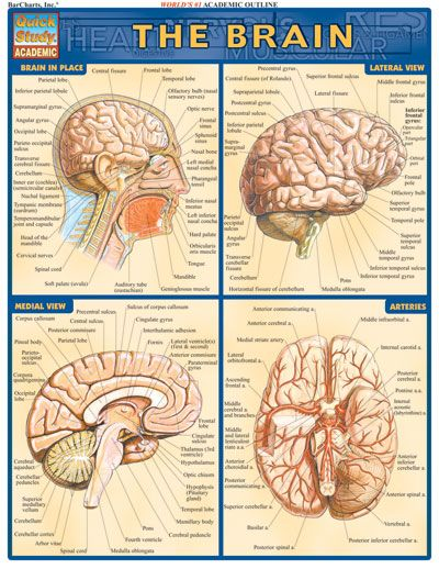 BRAIN QuickStudy® Complete, labeled illustrations of the parts of ...