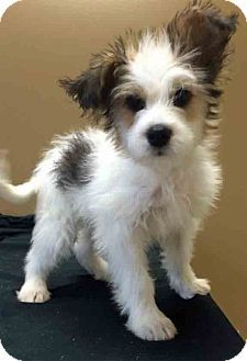 Gahanna Oh Wirehaired Fox Terrier Jack Russell Terrier Mix Meet Mario A Puppy For Adoption Fox Terrier Wirehaired Fox Terrier Wire Fox Terrier