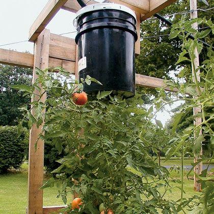 Gardening Idea Topsy Turvy Tomatoes Tomato Garden 400 x 300