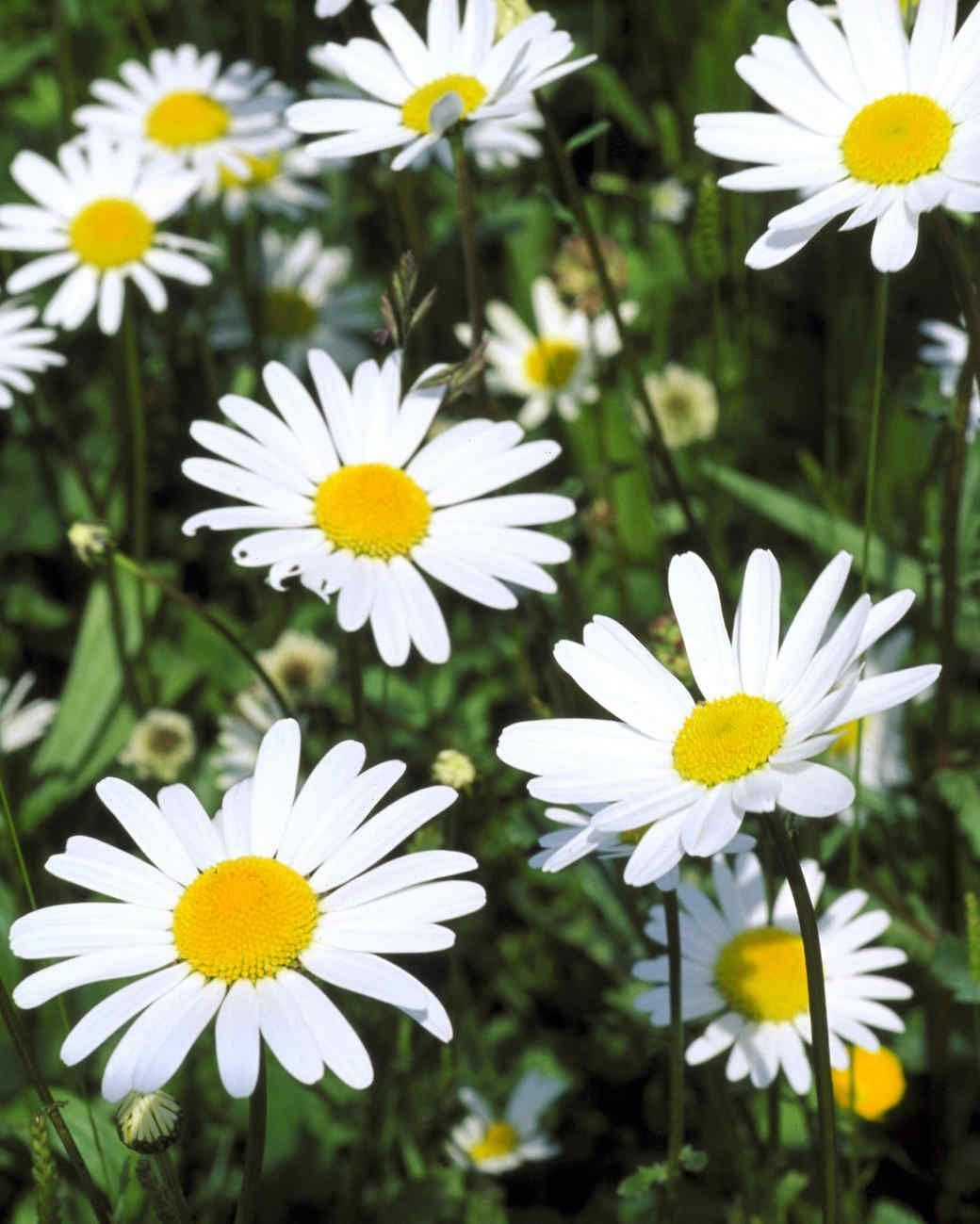 A wellknown species is the shasta daisy which has white
