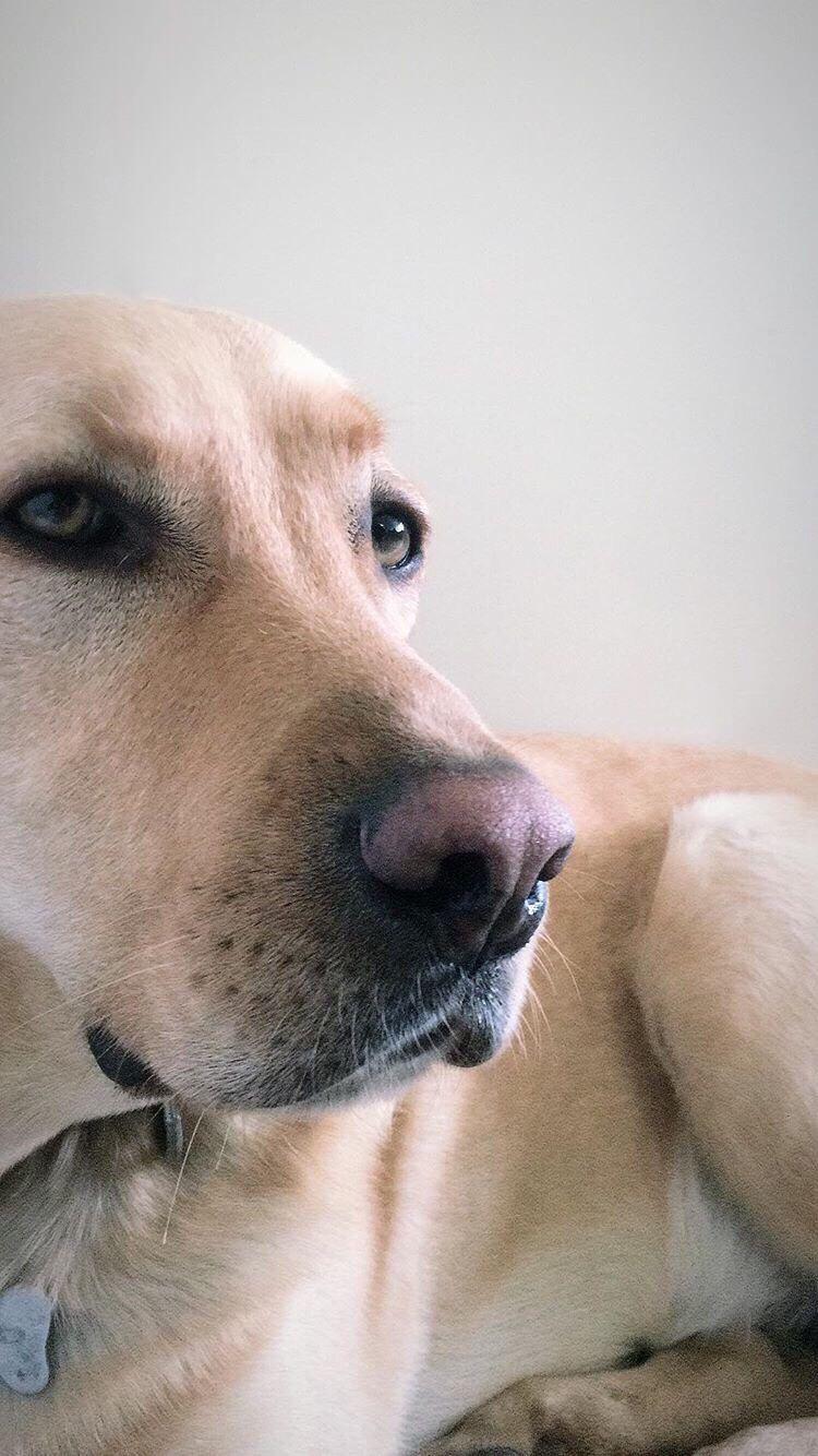 Welcome To Labrador Retriever Funny Dog Faces Dogs