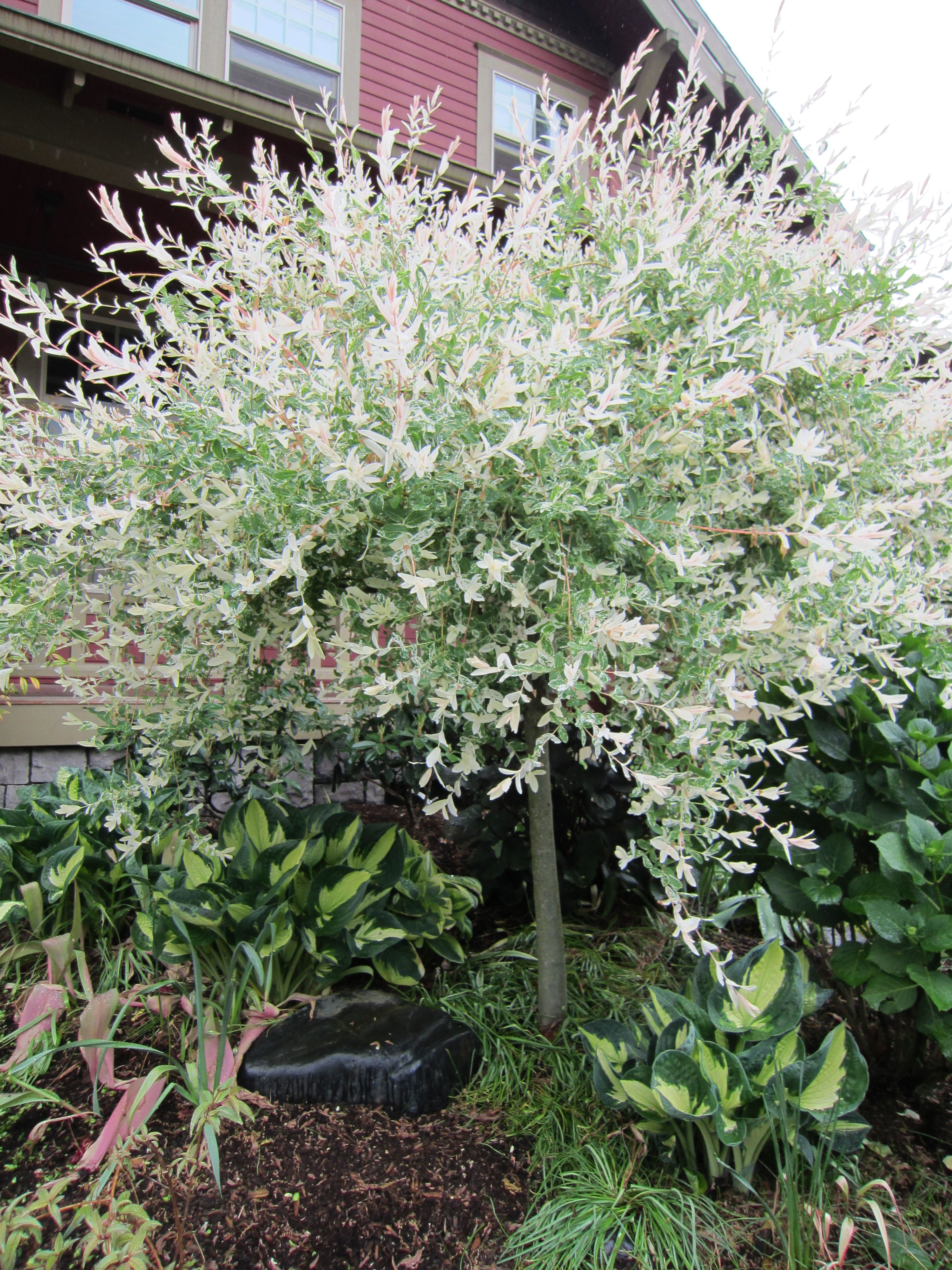 May 2013 Foliage Follow-up: Dappled Willow | Ferns garden, Deciduous ...