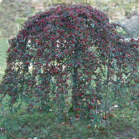 Cotoneaster on Standard  Dammanns Trees  Shrubs Garden