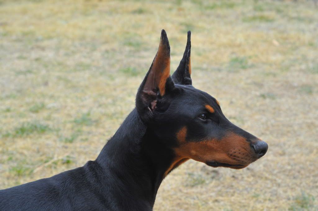 Ear Cropping Styles Short Medium Long Page 3 Doberman Forum