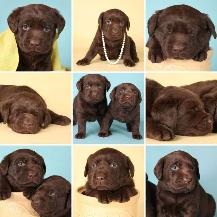 Chocolate Lab Names Sweet Names For Female Or Male Labrador Retriever Puppies Chocolate Labrador Retriever Labrador Puppy