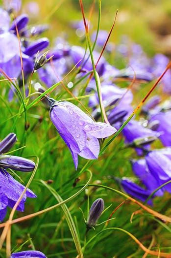 10 gorgeous perennials to plant this fall pinterest metal ringsabell indigo blue with its bell shaped purple flowers and shiny dark green foliage this charming plant really pops in border gardens or in metal mightylinksfo