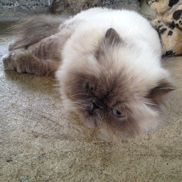 Panda #cat #catz_at_ashwood #himalayan #bluepoint