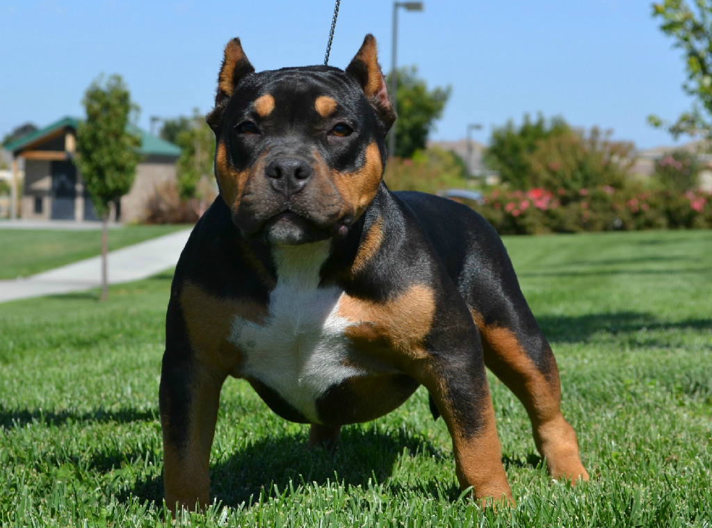 Tri American Bully Puppies For Sale And American Bullies For Stud American Bully Beautiful Dogs Puppies