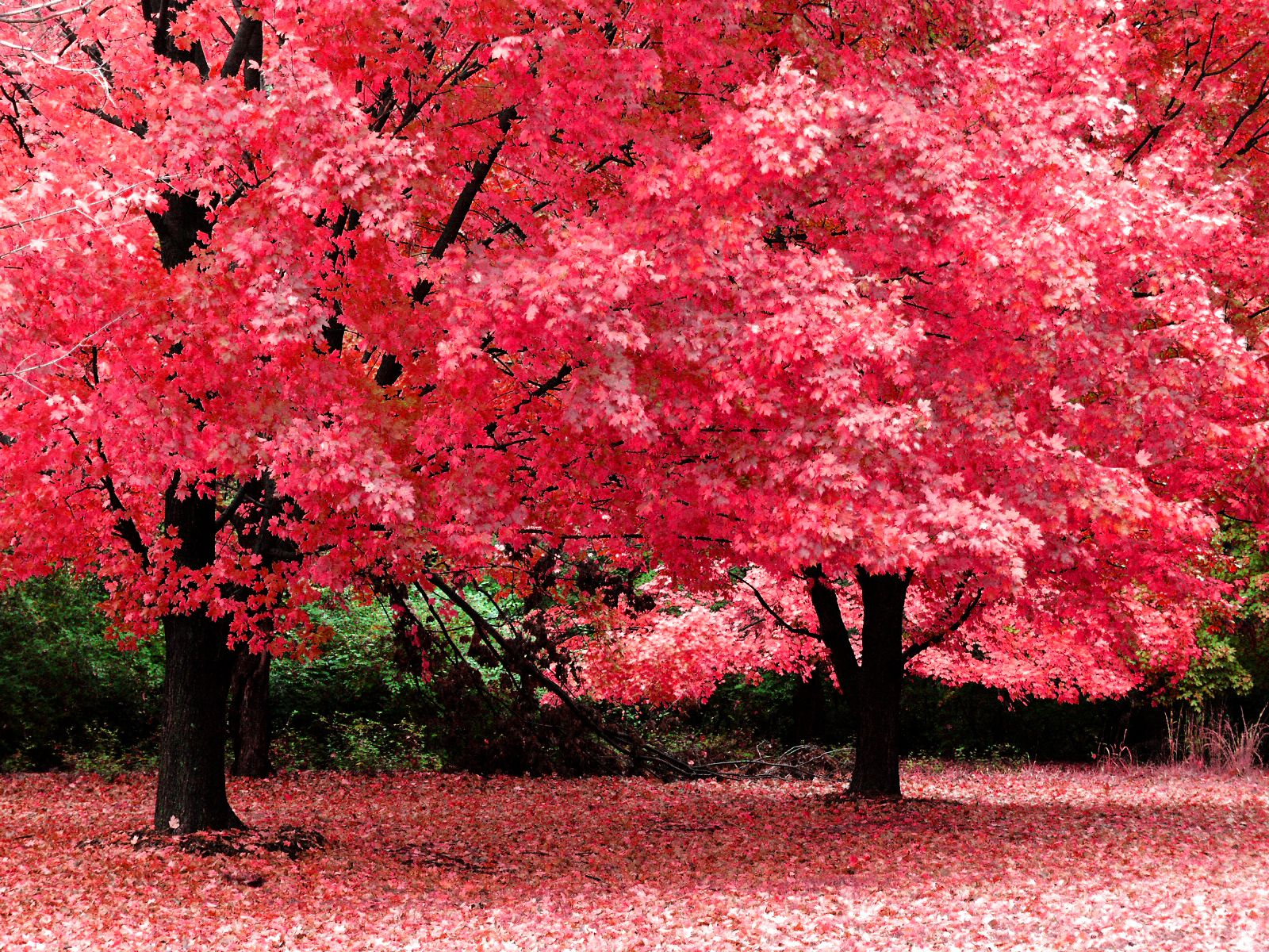 Autumn Tree Wallpaper Pink