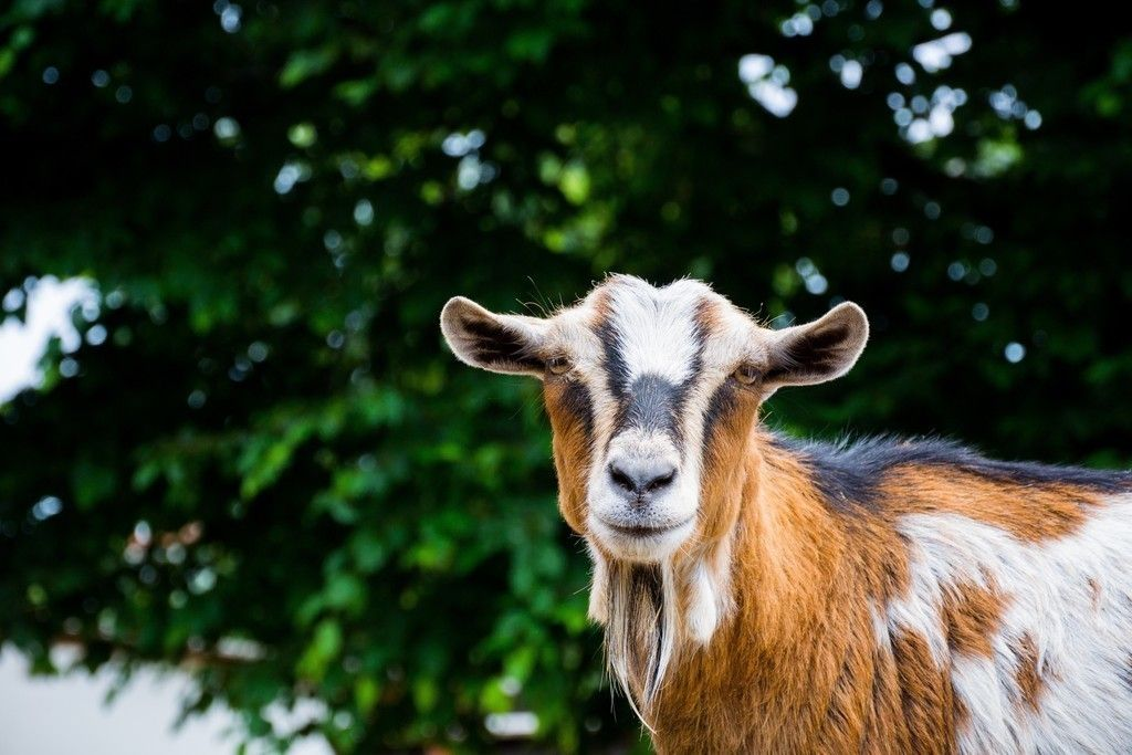 Pet Goat Muzzle Animal Zoo Wallpaper Pet Goat Goat Picture Animals