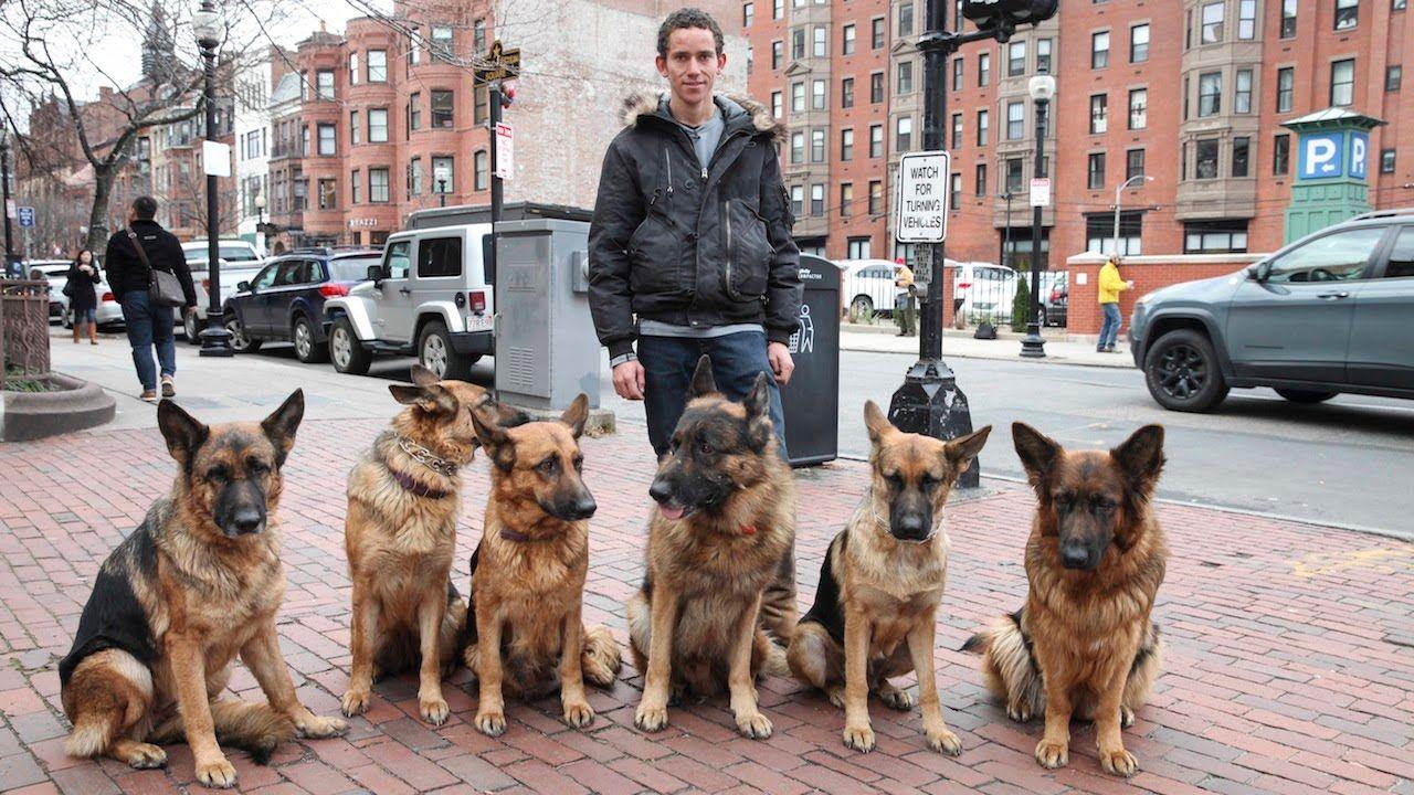 Amazing Man Walks 6 German Shepherds Through A Busy City Off