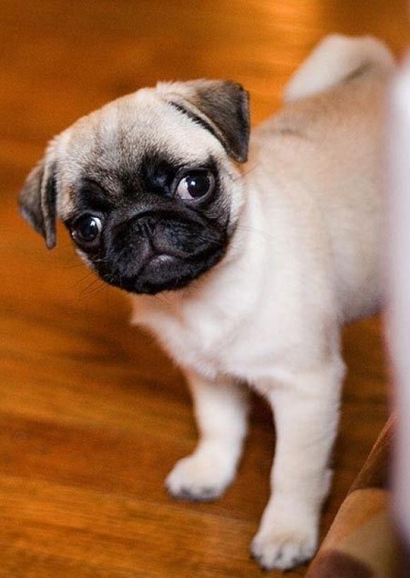 Puggies Can Look Both Ways At Once Baby Pugs Cute Pugs Cute