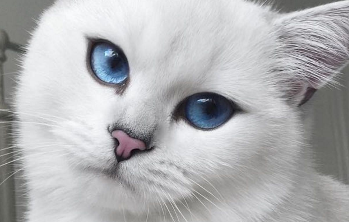 This Cat Has The Most Beautiful Eyes We Love Cats And Kittens Pretty Cats Cat With Blue Eyes Cute Animals